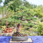 Bonsai udstilling udendørs hos Bonsai Museum